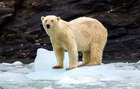 Ours blanc observé à Svalbard, photo: Matěj Roman