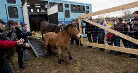 Wild horses in Milovice, photo: CTK
