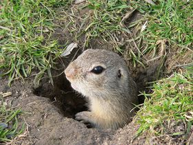 Ground squirrel, photo: BS Thurner Hof, Wikimedia Commons, License Creative Commons 3.0