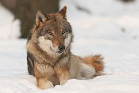Wolf, photo: Bernard Landgraf / CC 3.0 Unported