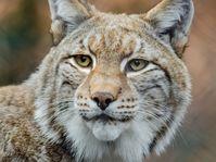 Lynx, photo: CC0 Public Domain