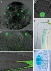 Beispiele der Auxin-Gradienten (Foto: http://ziva.avcr.cz)