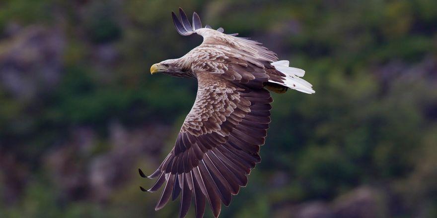 Sea eagle, photo: Yathin S Krishnappa, CC BY-SA 3.0
