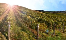 Vineyards on the slopes of the Pálava Hills, photo: CzechTourism