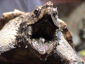 Kajmanka supí, foto: LA Dawson, CC BY-SA 2.5