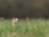 Ground squirrel, photo: Bouke ten Cate, Wikimedia Commons, CC BY-SA 4.0