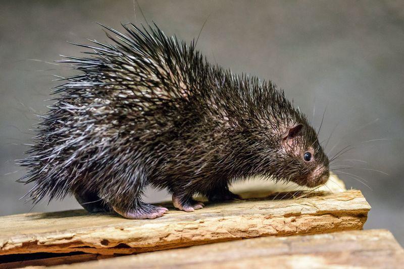 Philippine porcupine, photo: Petr Hamerník / Prague Zoo