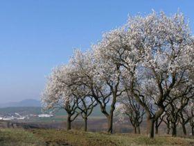Los almendros florecen también en la RCh, foto: web oficial de la ciudad de Hustopeče