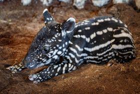 Mládě tapíra čabrakového se narodilo vdobě, kdy je pražská zoo kvůli vládním opatřením uzavřena. Foto: Miroslav Bobek, archiv Zoo Praha