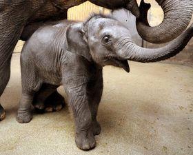 La elefanta Rashmi, foto: ČTK