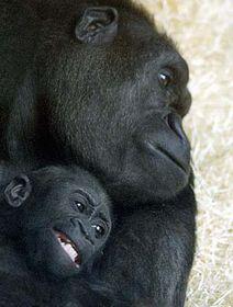 Gorila Kijivu con su cría Moja (Foto: CTK)