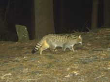 El gato salvaje, foto: Archivo de la administración de Parque Nacional Šumava
