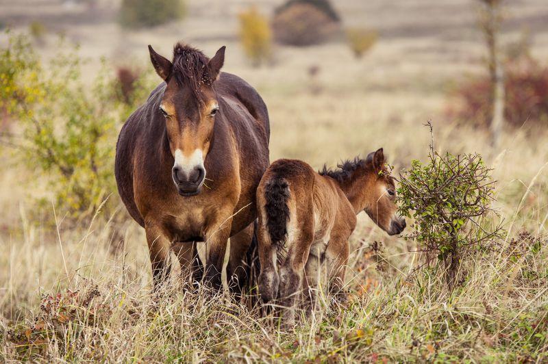 Wildpferde im Reservat (Foto: Michal Köpping / European Wildlife / Česká krajina)