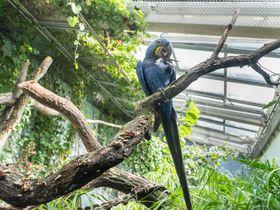 Hyazinth-Ara (Foto: David Kraus, Archiv des Prager Zoos)