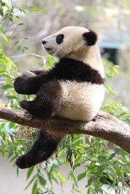Panda, foto: jballeis, CC BY-SA 3.0 Unported
