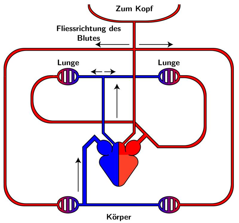Kreislaufsystem - oběhová soustava (Quelle: Lennert B, Wikimedia Commons, Public Domain)
