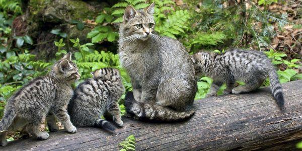 Europäische Wildkatze (Foto: Wildkatzen, Wikimedia Commons, CC BY-SA 4.0)