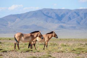 Przewalski-Pferde in der Mongolei (Foto: Petr Jan Juračka, Archiv des Prager Zoos, Wikimedia Commons, CC BY-SA 4.0)