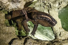 Giant salamander Karlo, photo: Petr Hamerník / Prague Zoo