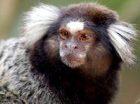 Zvědavá jako opice (Фото: Felipe Daniel Reis, FreeImages)