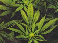 Cannabis sativa - marihuana
