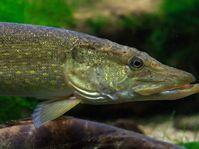 Jako štika v rybníce (Фото: Luc Viatour, Wikimedia Commons, Licence CC 3.0)