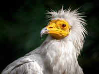 Schmutzgeier (Foto: Zoo Praha)