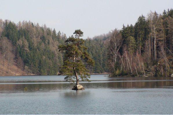 El pino silvestre del pueblo de Chudobín, foto: Ladislav Stalmach, CC BY-SA 4.0