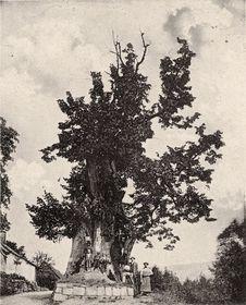 Tatobitská lípa kolem roku 1910, foto: Public Domain