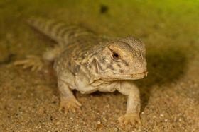 Mesopotamian Spiny-tailed Lizard, photo: Petr Velenský / Prague Zoo