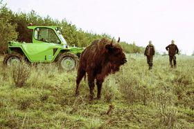 Зубры в  Миловицах, Фото: ЧТК