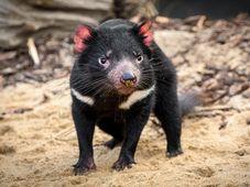 Demonio de Tasmania, foto: archivo Zoo de Praga