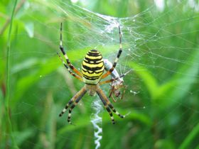 Argiope bruennichi, foto: Kristian Peters, Creative Commons 3.0