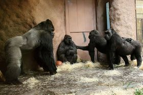 La familia de gorilas del zoo de Praga (Richard a la izquierda, Bikira en el medio), foto: Rostislav Stach, ČRo