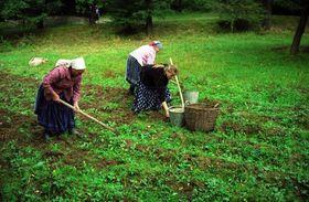 Začátkem podzimu se na Valašsku kopají či vyorávají brambory, foto: archiv Valašského muzea vpřírodě