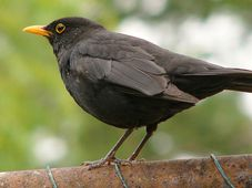 Blackbird, photo: SonNy cZ / Wikipedia, free domain
