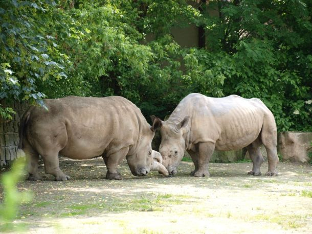 Rare Northern white rhino dies at Czech zoo, leaving just