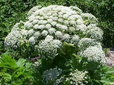 Giant hogweed, photo: Farbenfreude, Creative Commons 3.0