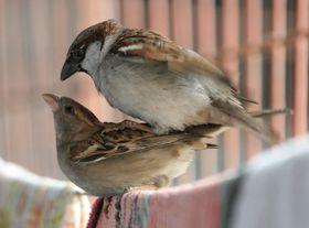 House sparrows, photo: J. M. Garg, CC 3.0