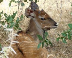 Western Derby eland, photo: archive of Derbianus Conservation