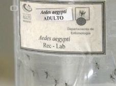 Les moustiques contaminés par le virus Zika, photo: ČT