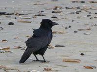 Má zadek, jako když vrána srazí paty (Фото: 4028mdk09, Wikimedia Commons, Licese CC BY-SA 3.0)
