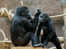 Gorily v Zoo Praha, foto: Khalil Baalbaki, Zoo Praha