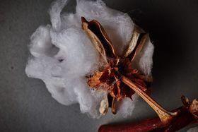 Carlsbad Cotton, photo: David Turecký