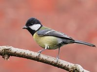 Great tit, photo: © Francis C. Franklin / CC-BY-SA-3.0