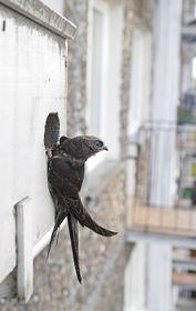 El vencejo (Apus apus) es el Pájaro del año 2004, foto: Amikosik, CC BY 3.0 Unported