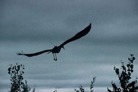 Черный аист (Фото: ЧТК)