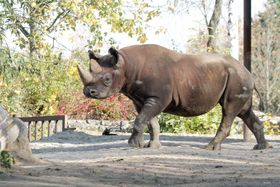 Black rhino, photo: archive of Dvůr Králové Zoo