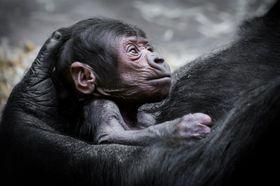 Shinda co su cría, foto: presentación oficial del Zoo de Praga