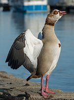 Egyptian goose, photo: DXR, CC BY-SA 4.0